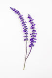 Flor da alfazema no fundo branco Fotografia de Stock