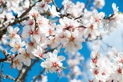 Flor da amêndoa. Fotos de Stock Royalty Free