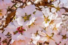Flor da amêndoa Foto de Stock
