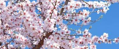 Flor da amêndoa Fotografia de Stock Royalty Free