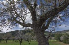 Flor da amêndoa em Mallorca Imagens de Stock Royalty Free