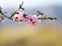 Flor da amêndoa na mola Flores cor-de-rosa bonitas imagens de stock