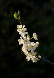 Flor da ameixa Foto de Stock