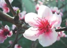 Flor da ameixa Fotografia de Stock Royalty Free