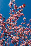 Flor da ameixa imagem de stock royalty free