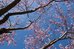Flor da ameixa Fotos de Stock Royalty Free