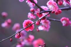Flor da ameixa Imagens de Stock Royalty Free