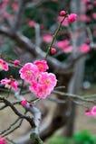 A flor da ameixa Foto de Stock Royalty Free