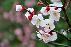 A flor da ameixa Fotografia de Stock Royalty Free
