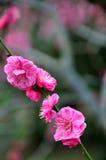 A flor da ameixa Imagem de Stock Royalty Free
