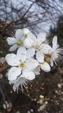 Flor da ameixa da mola Fotografia de Stock