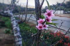 Flor da ameixa em Doi Inthanon em Tailândia fotografia de stock royalty free