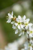 flor da ameixa, flor da mola Foto de Stock Royalty Free