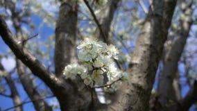 Flor da ameixa na árvore na natureza video estoque