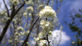 Flor da ameixa na árvore na natureza vídeos de arquivo