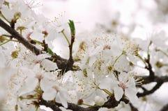 Flor da ameixa na mola Imagem de Stock Royalty Free