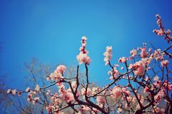Flor da ameixa sob o céu azul imagem de stock royalty free