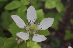 Flor da amora Imagem de Stock Royalty Free
