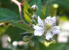 Flor da amora-preta Imagem de Stock Royalty Free