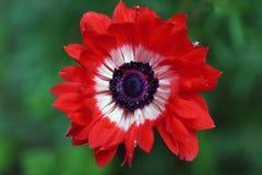 Flor da anêmona com coração de veludo foto de stock
