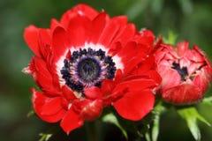 Flor da anêmona com uma grinalda dos estames escuros fotografia de stock