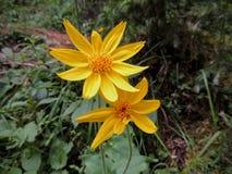 Flor da arnica, Heartleaf, fim acima do macro no parque nacional de Banff, Canadá fotos de stock royalty free