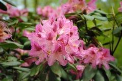 Flor da azálea Fotografia de Stock Royalty Free