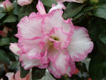 Flor da azálea - branco e rosa Imagem de Stock Royalty Free