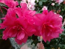 Flor da azálea - rosa Imagens de Stock