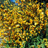 Flor da baga de Calafate, San Carlos de Bariloche, Argentina Imagem de Stock Royalty Free