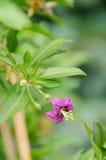 Flor da baga de Goji imagem de stock