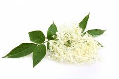 Flor da baga de sabugueiro Foto de Stock Royalty Free