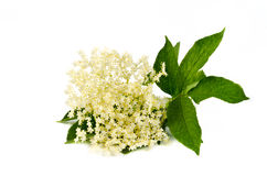 Flor da baga de sabugueiro no branco Fotos de Stock Royalty Free