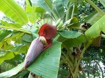 Flor da banana Fotos de Stock Royalty Free