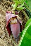 Flor da banana Imagem de Stock Royalty Free