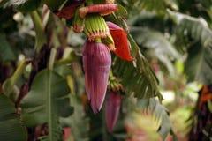 Flor da banana Fotos de Stock