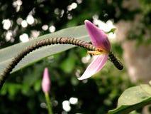 Flor da banana Imagens de Stock Royalty Free