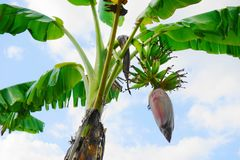 Flor da banana da flor da banana no fundo do céu azul Fotos de Stock Royalty Free