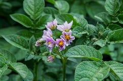 Flor da batata Fotografia de Stock Royalty Free
