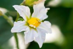 Flor da batata Imagens de Stock