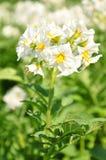 Flor da batata fotografia de stock