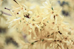 Flor da baunilha Imagem de Stock