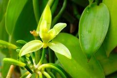 A flor da baunilha na plantação Fotografia de Stock