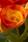 Flor da begónia de Rieger molhada Fotos de Stock Royalty Free