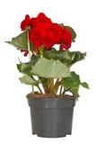 Flor da begónia em um potenciômetro Fotografia de Stock