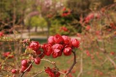 flor da begônia imagens de stock royalty free