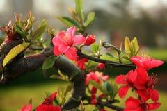 flor da begônia Foto de Stock Royalty Free