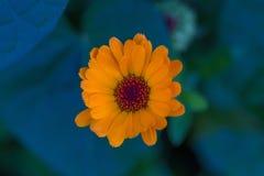 Flor da beleza Apenas chovido sobre Fotografia de Stock Royalty Free