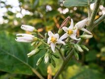 Flor da beringela Imagens de Stock Royalty Free