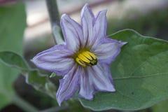 Flor da beringela Fotografia de Stock